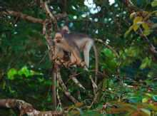 Black Ridge langur